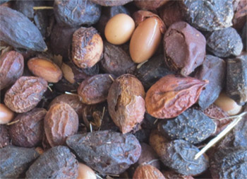 Nuts of the Argan tree